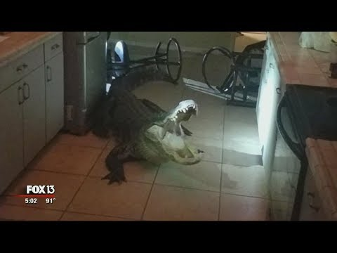 Florida Woman Comes Face To Face With Alligator In Her Kitchen