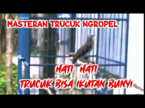 Suara Burung Trucukan Ropel Panjang Youtube