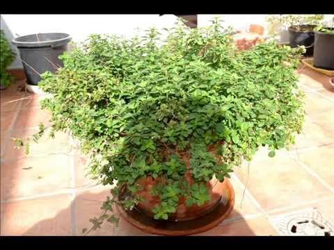 oregano, en maceta cuidados cultivo. plantas medicinales en el