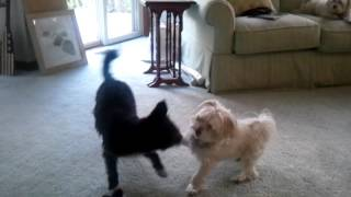 Miniature Schnauzer Puppy And 10yr Old Maltese Playing