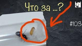 Муха - паразит // Подселяем Camponotus vagus к C.parius // и другие интересные новости //  # 103