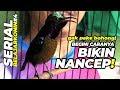 Belajar Konin  Perhatian Gak Pake Bohong Begini Caranya Kolibri Ninja Nancep Gacor Ngobra  Mp3 - Mp4 Download