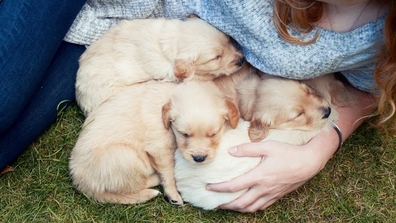 The Coltriever Part Golden Retriever Part Border Collie And The