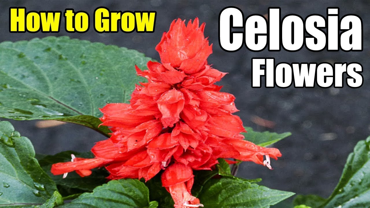 How To Grow Celosia Annual Flowers Gardening Story Youtube