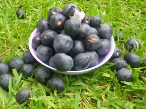 Icaco Icacos Frutas De Centroamerica Youtube