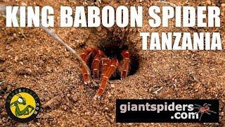 KING BABOON SPIDER Tanzania