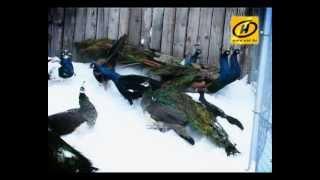 Павлины в Беларуси прекрасно себя чувствуют зимой
