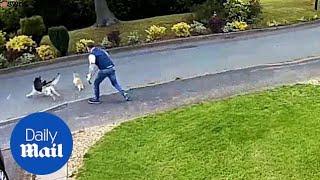 Fearless cat chases huge German Shepherd down the street