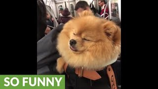 Pomeranian sleeps in backpack during subway commute
