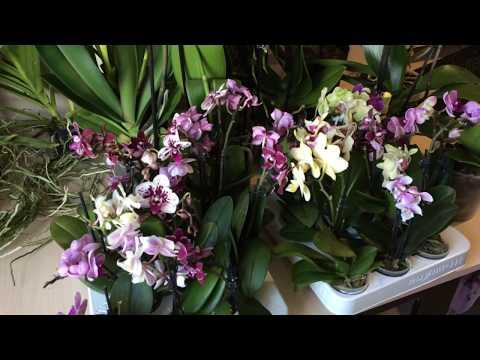 Продажа орхидей уценок. Завоз 02. 04. 2019г. Цены и бронирование по ссылке в описании к этому видео.