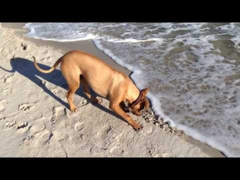 Six months old rhodesian ridgeback goes crazy on the beach