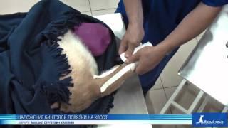 Наложение бинтовой повязки на хвост