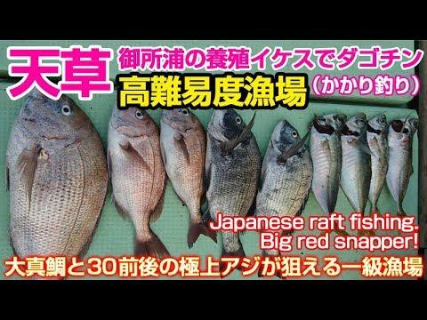 天草御所浦の養殖場で真鯛チヌ黒鯛極上真アジを狙う真夏のかかり釣りダゴチン | Midsummer raft fishingBig red snapper!