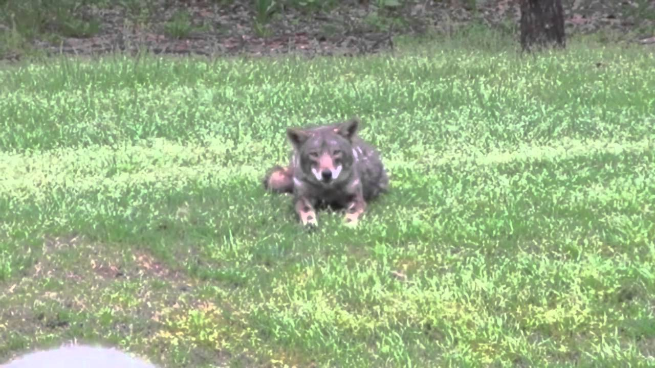 Coyote in the Backyard! - YouTube