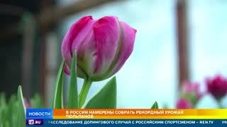 Российские флористы готовы собрать рекордный урожай тюльпанов