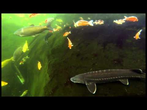2k Fishpond Video, Sturgeons And Koi