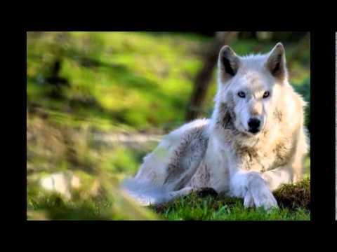 Красивое фото волков...!