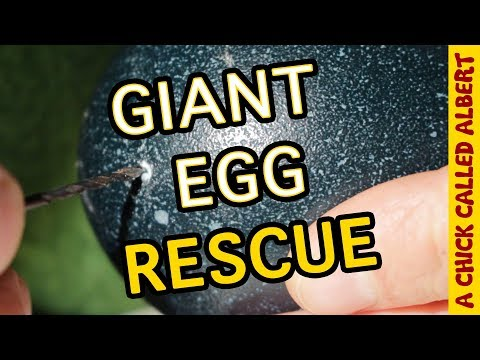 Drilling a hole in a living Egg... to save it