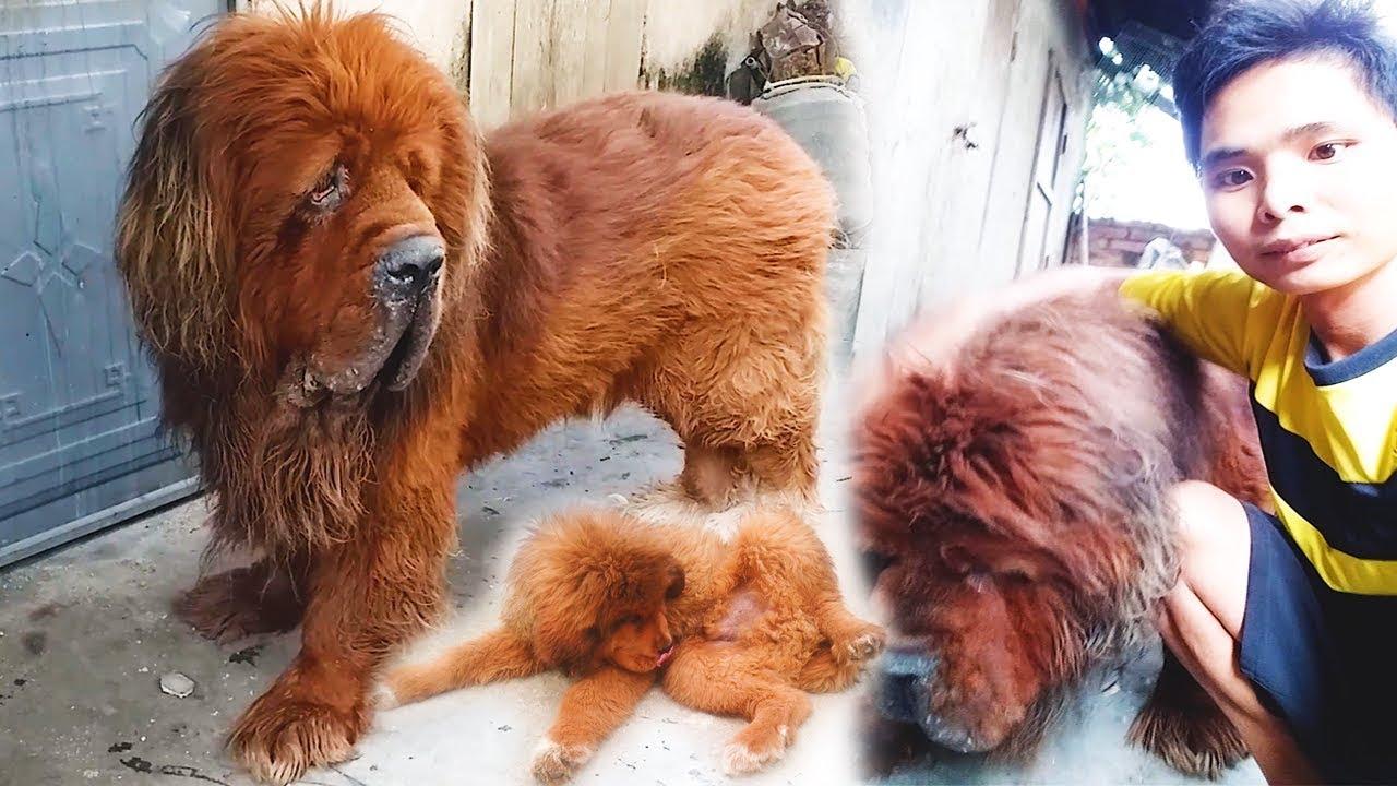 Nuôi 1 Đàn Chó Ngao Tây Tạng Khổng Lồ | Duy Hồng Vlogs