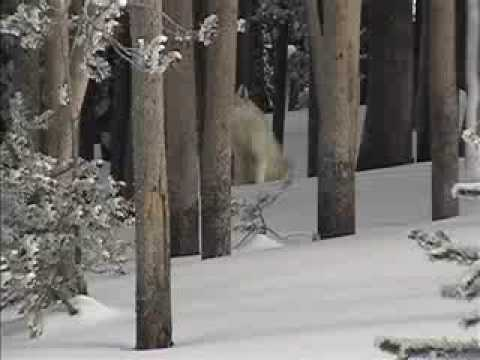 Yellowstone National Park 2004 - Wolf sighting