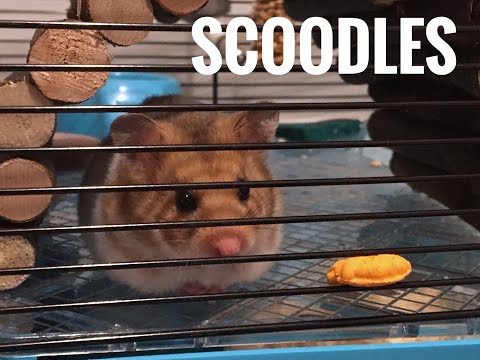 Meet Scoodles the hamster.