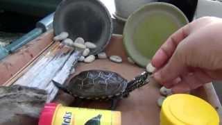 Aquatic turtle feeding
