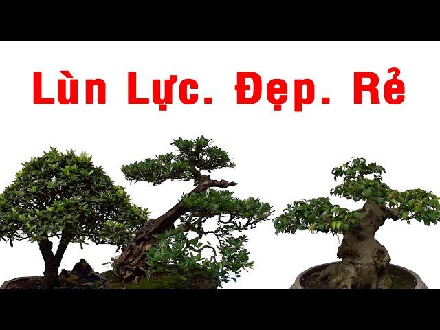 Những cây quý hiếm, lùn lực, đẹp giá tiền ntn. selling beautiful bonsai trees