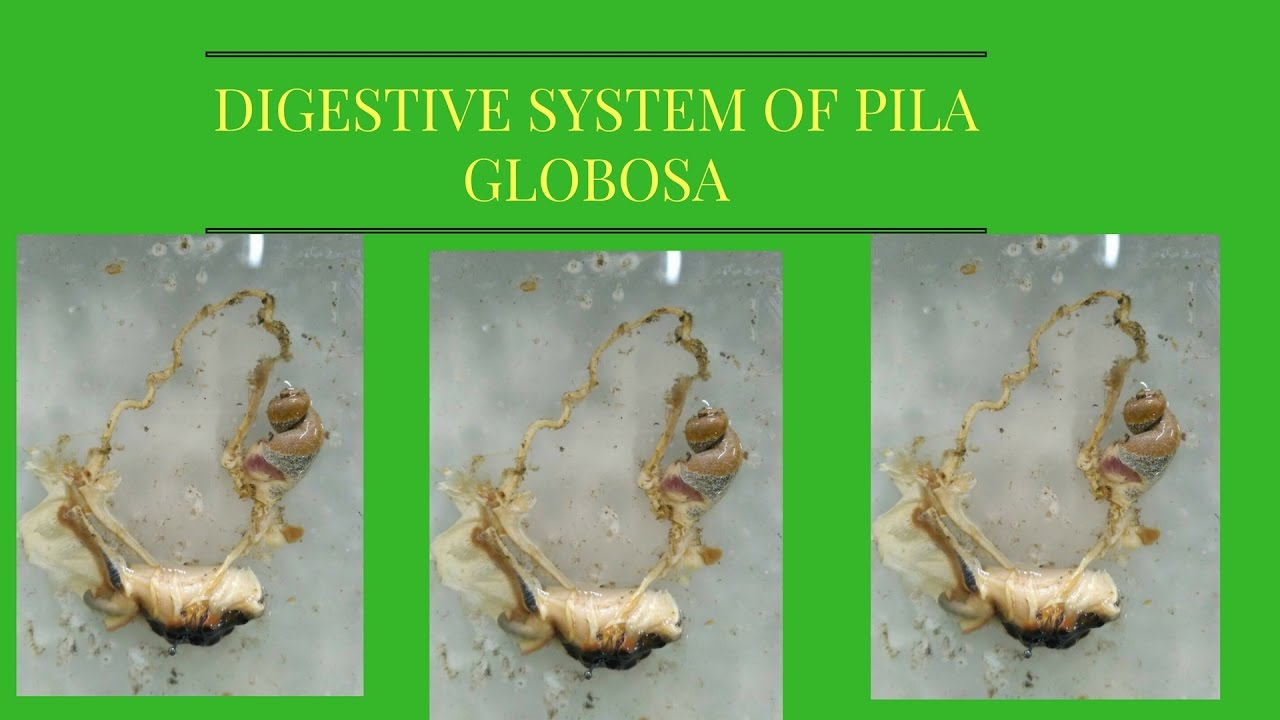 Digestive system of pila globosa full hd youtube digestive system of pila globosa full hd ccuart Image collections