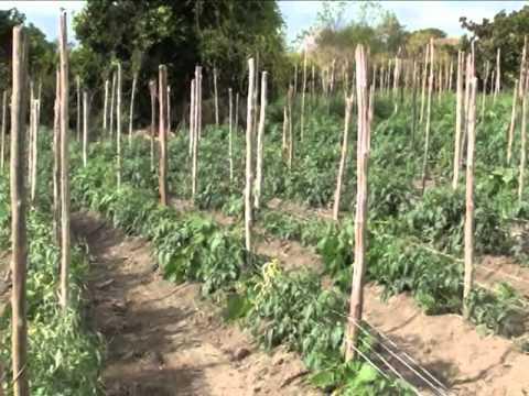 Como Fazer Uma Horta De Tomates