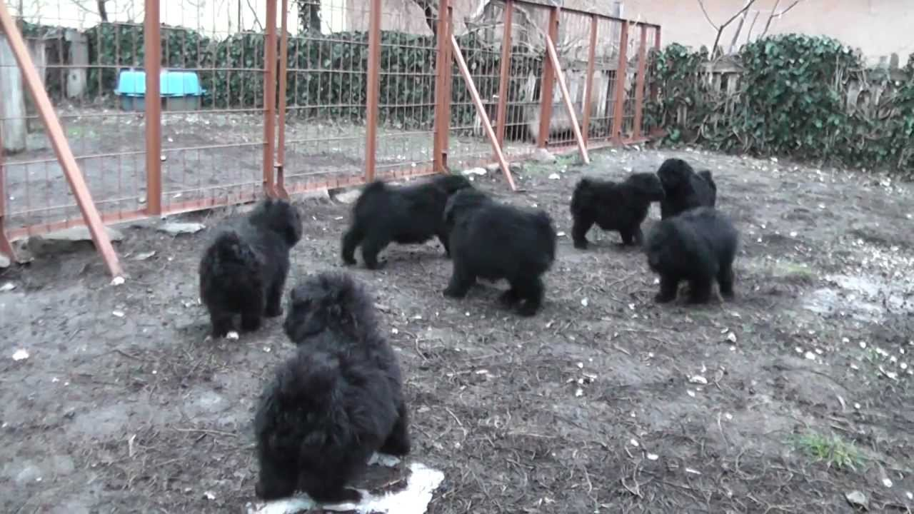 Ludas Matyi Puli Puppies For Sale Youtube