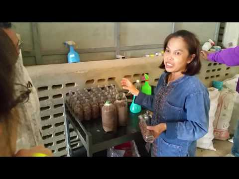 How To Grow Oyster Mushroom In Thailand | Thailand Travel 2016 | Asian Travel