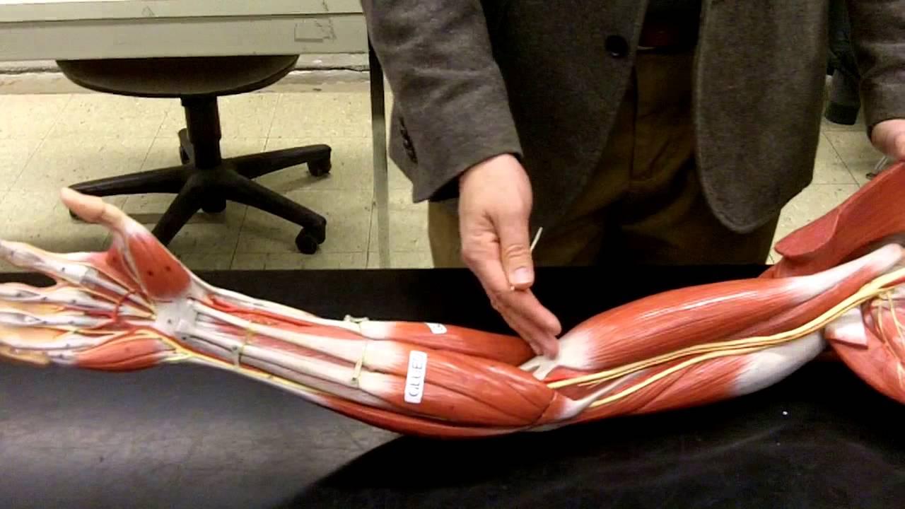 Download Muscle Arm Shoulder and Brachium