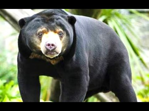 HONEY BEAR - Beruang Madu - Wild Life Animal Planet [HD]