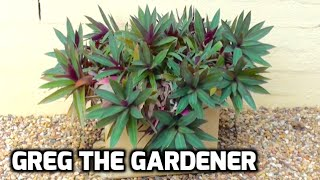 RHOEO - Drought tolerant plants - How to grow and propagation - Greg The Gardener