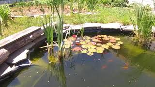 Кормление рыбы в пруду. Карпы Кои и Нимфеи