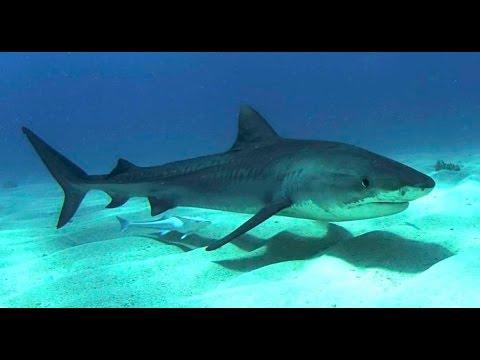 Alaskan Killer Shark - Ocean Animal Documentary