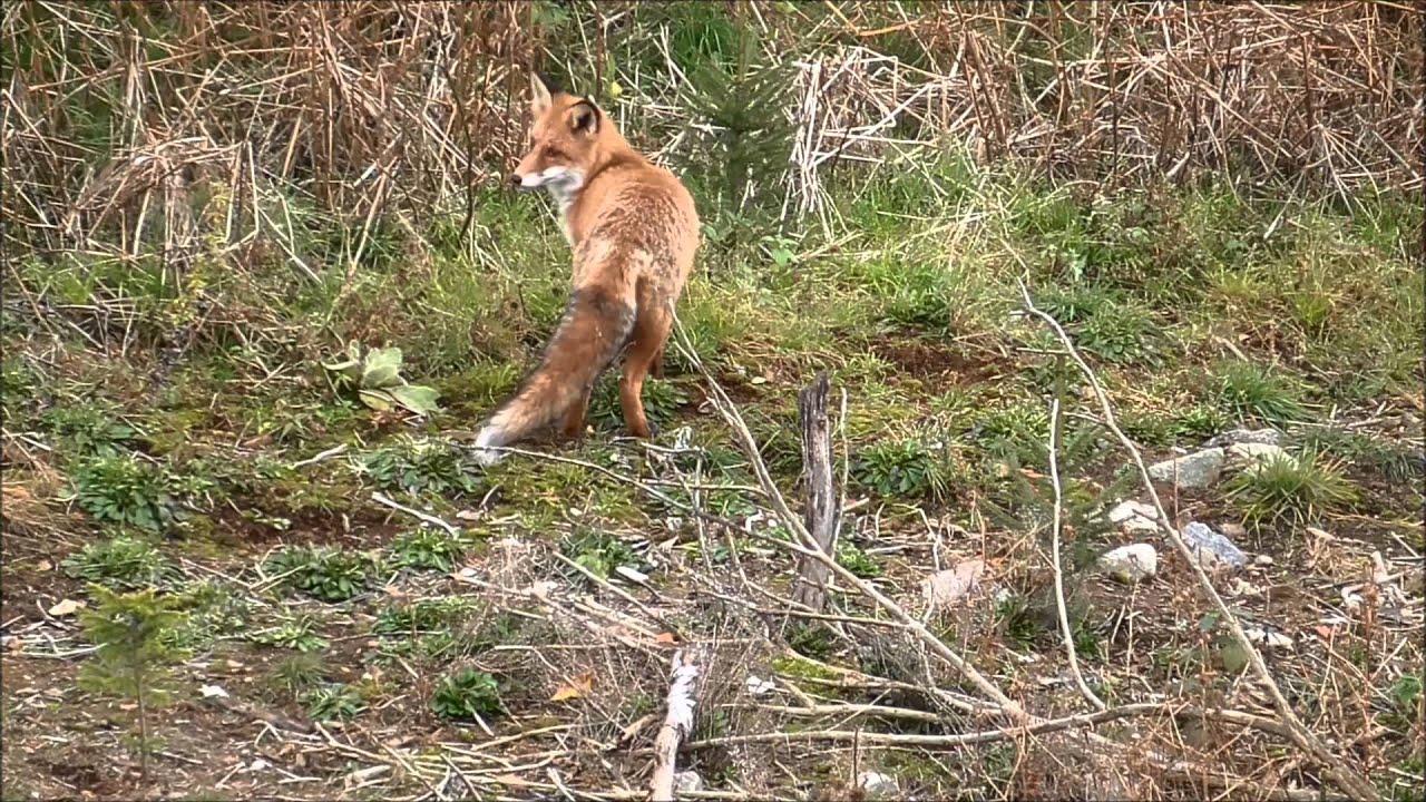 Revejakt 2015/fox hunting/fuchsjagt - JaktPlay