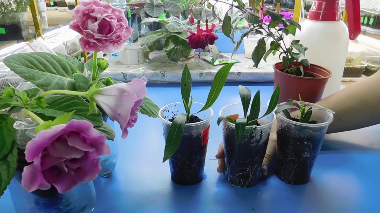 Олеандр — (ср. В. Лат. Lorandrum, искаженное от греч. Rhododendron лавровая роза). Олеандр — вечнозелёный высокий кустарник или небольшое деревце семейства. Подробнее купить за 109 грн (только украина).