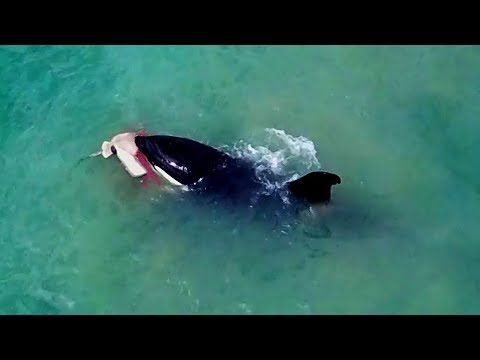 Orca feeding on stingray & the aftermath...