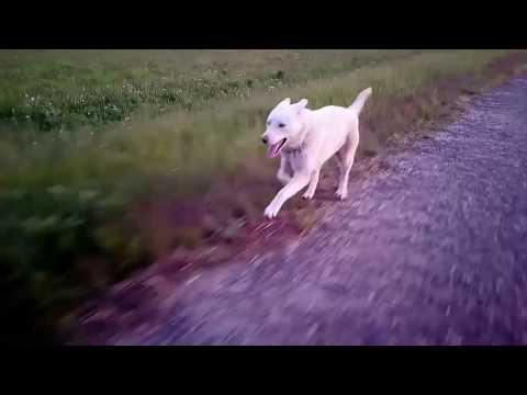 Фараонова собака Википедия