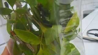 Orugas de lepidoptera  econtradas en casimiroa greggii comiendo.