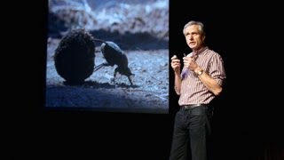 Marcus Byrne: The dance of the dung beetle(A dung beetle has a brain the size of a grain of rice, and yet shows a tremendous amount of intelligence when it comes to rolling its food source -- animal ..., 2012-12-13T16:17:06.000Z)
