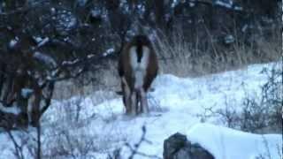 Muflonok télen / Mouflons in winter