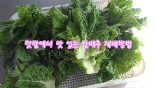쌈 배추 텃밭 재배 방법