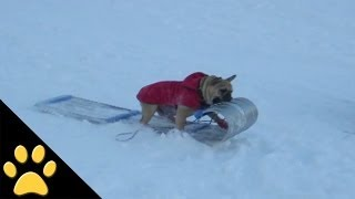 Compilation Of Dogs On Sleds