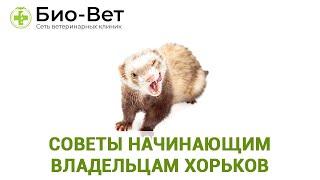 Советы начинающим владельцам хорьков. Ветеринарная клиника Био-Вет.