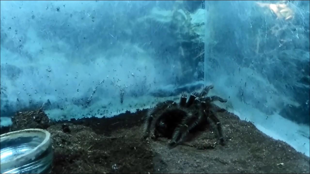 Grammostola Alticeps линяет - YouTube