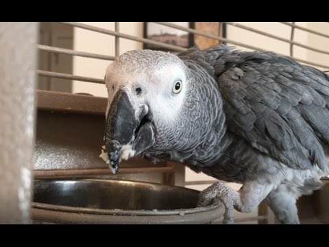 African Grey Parrot (Macy) Eating Mashed Potatoes