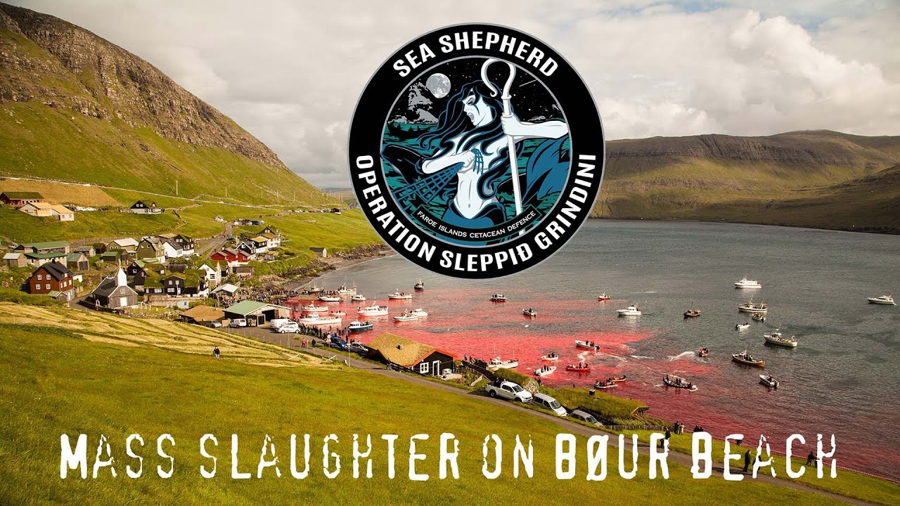 Resultado de imagen de faroe island sea shepherd