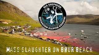 Mass Slaughter Of Pilot Whales In The Faroe Islands. WARNING. GRAPHIC.